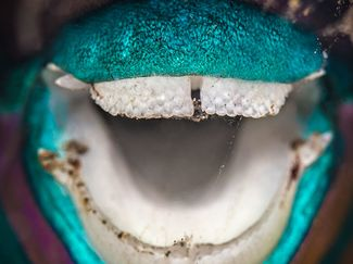 parrotfish underwater photography