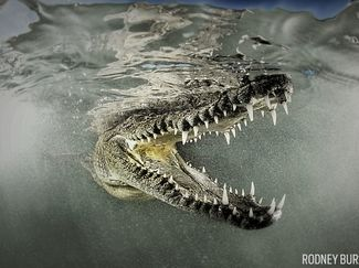 scuba diving with crocodiles