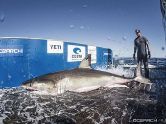 OCEARCH tagging great white shark Hilton