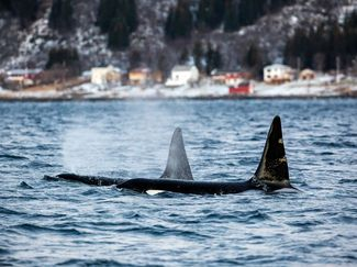 orcas surfacing in a bay