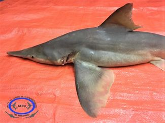 rare daggernose shark species from brazil