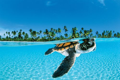 The Sea Turtle Conservancy: Helping Endangered Turtles since