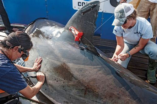 Ocearch Tags and Tweets Great White Shark Locations | Scuba Diving