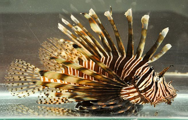 Join the 2016 lionfish derby in florida scuba diving for Invasive fish in florida