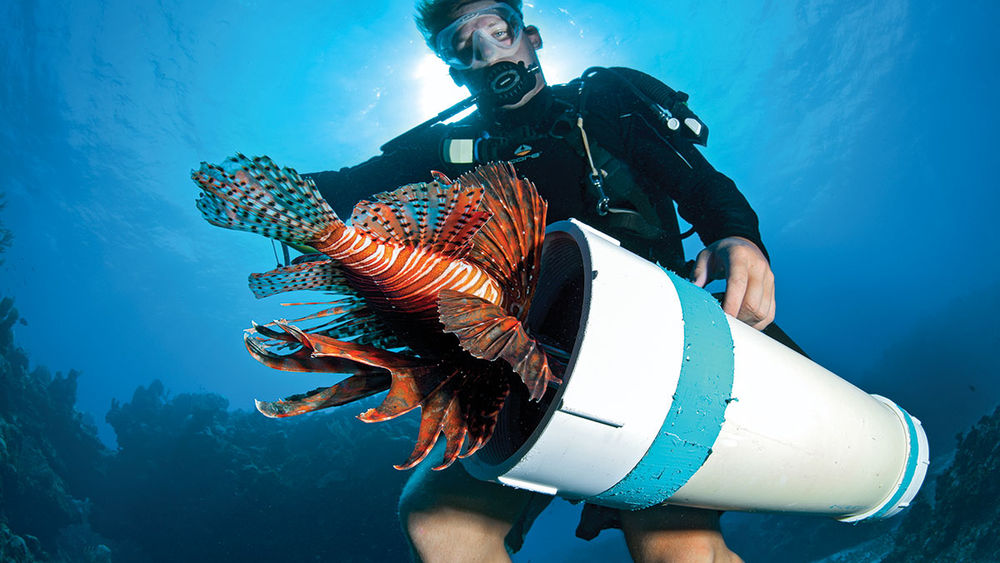Diver captures a lionfish.