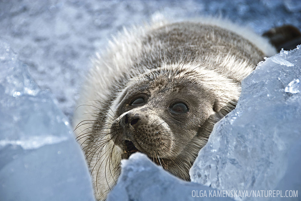 Baby seal Russia