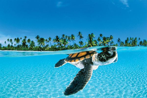 A young sea turtle near the surface.