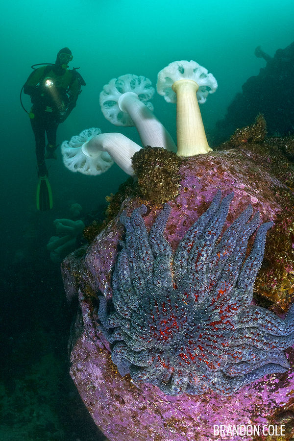 Underwater Photo Diver with Plumose Anemone British Columbia