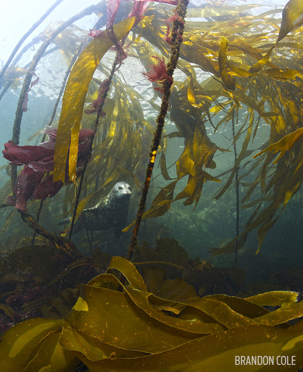 Underwater Photo of Seal and Kelp in British Columbia
