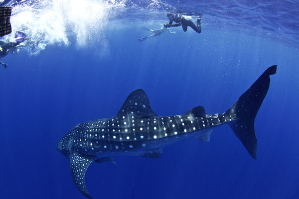 Snorkeler with Whale Shark Underwater Photo
