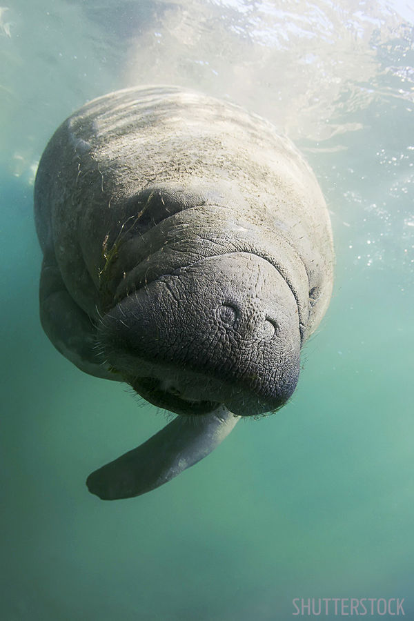 Manatee Underwater Photo Crystal River, Florida