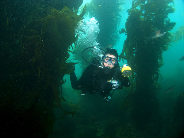 scuba diver in kelp forest underwater photo california