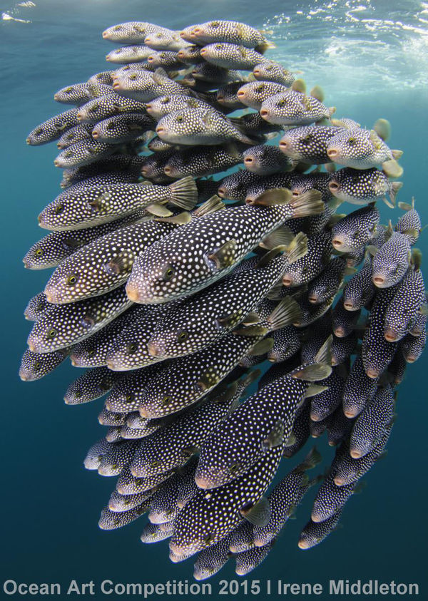 pufferfish school underwater photography in new zealand