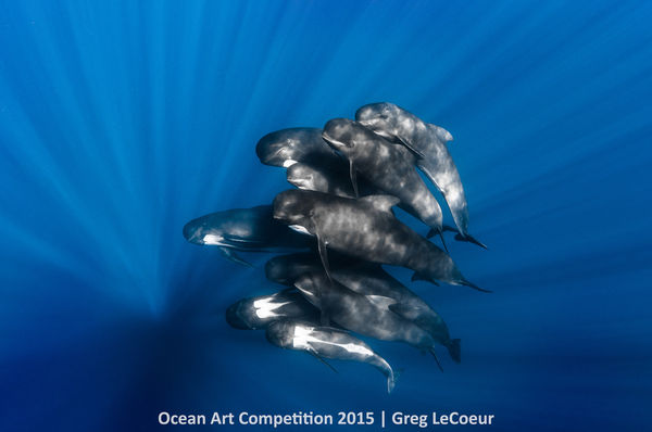 pod pilot whales underwater photography