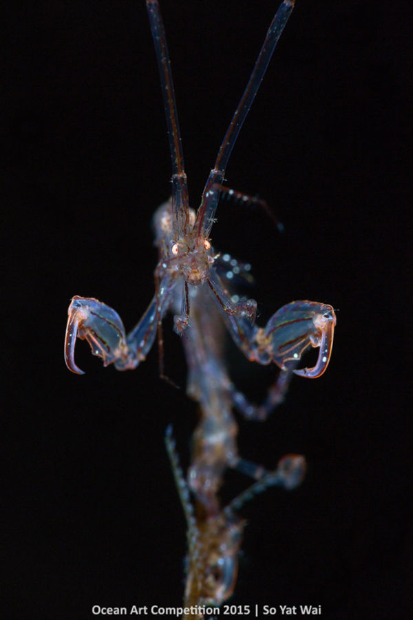 skeleton shrimp macro underwater photography