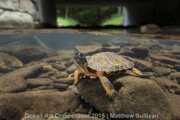 wood turtle in pennsylvania creek underwater photography