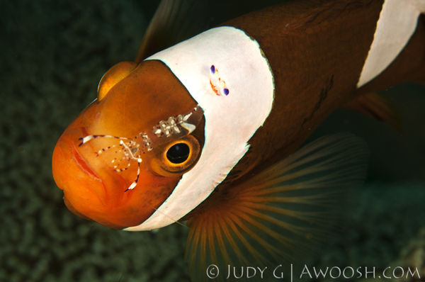 Saddleback Fish Underwater Photo With Cleaner Shrimp