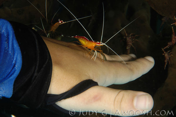 Diver Manicure Underwater Photo Cleaner Shrimp