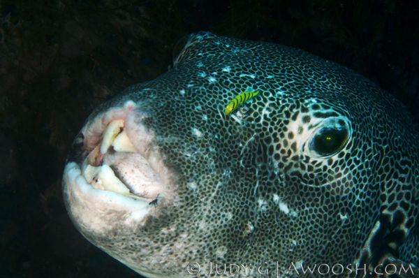 Puffer Fish Underwater Photo Cleaner Fish