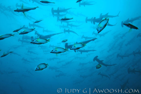 Hammerhead Sharks Underwater Photo Costa Rica With Cleaning Fish