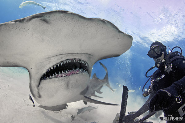 Underwater Photo Hammerhead Shark Bimini Bahamas