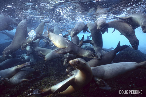 Galapagos Sea Lions Underwater Photo