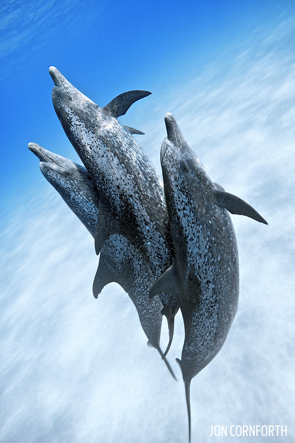 Underwater Photo Atlantic Spotted Dolphins in the Bahamas