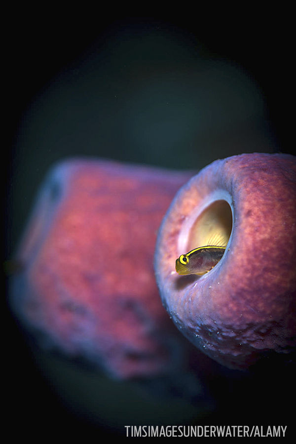 Blenny Tube Sponge Underwater Photo Macro Bonaire