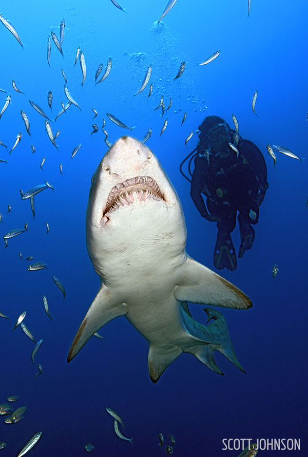 Diver and Sand Tiger Shark Underwater Photo North Carolina