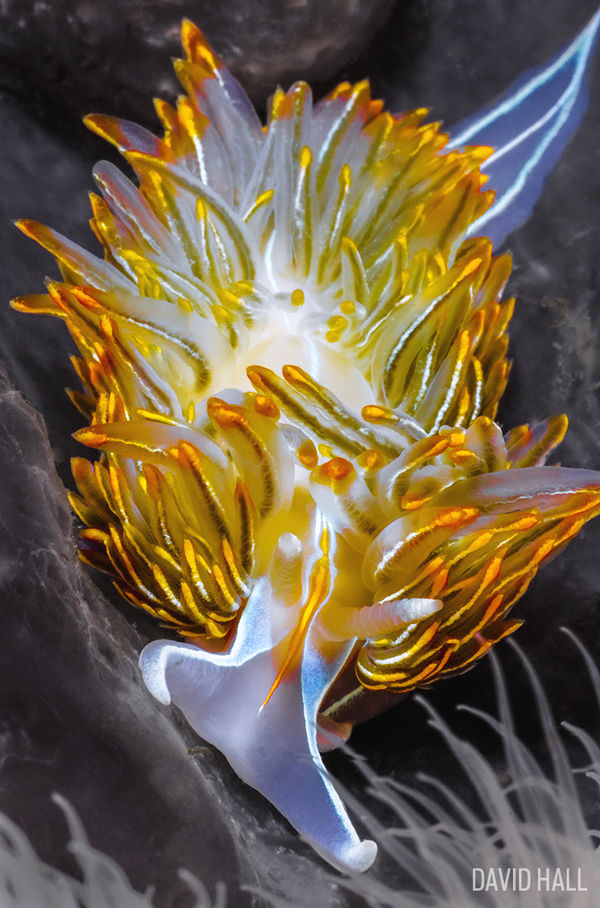 Nudibranch Photo Underwater Macro British Columbia Diving