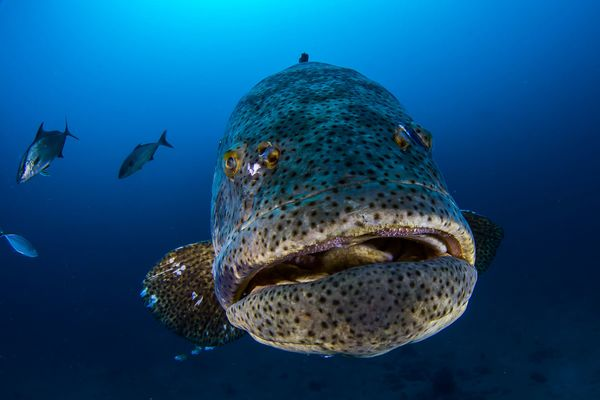 If divers don 39 t act goliath grouper may soon disappear for Grouper fishing florida