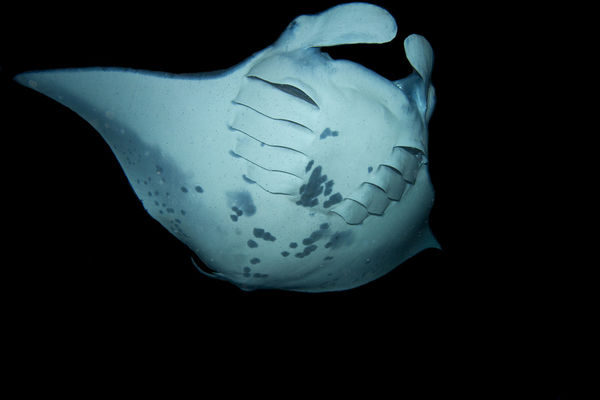 Underwater Photo Manta Night Dive Kona Hawaii