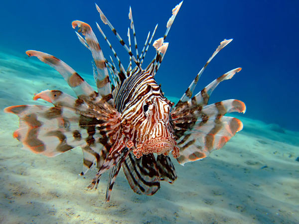 Attacking invasive species south florida lionfish derby for Invasive fish in florida