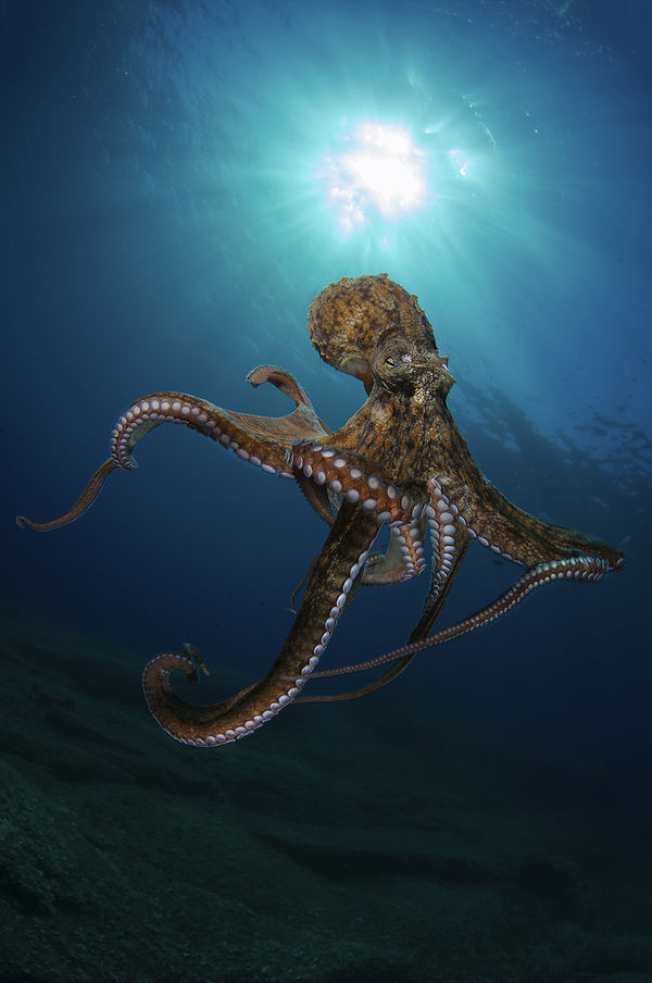 real octopus wallpaper - photo #29