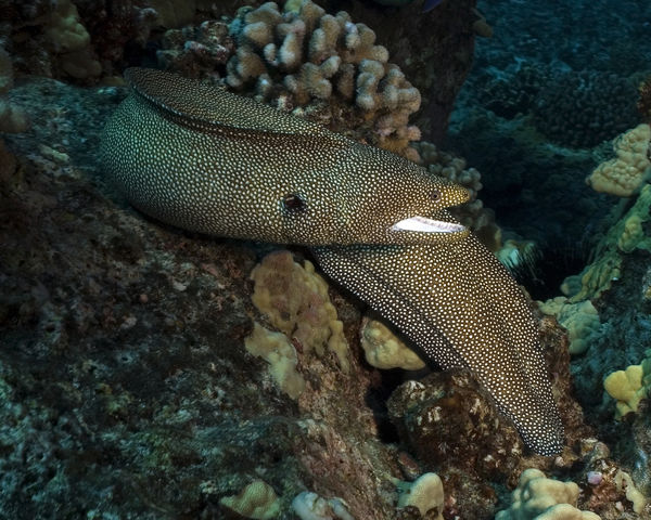 spotted moray scuba diving hawaii