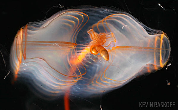 siphonophore night divng