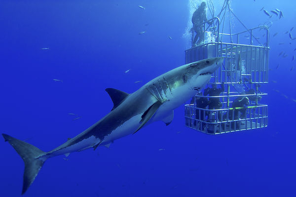 Great White Shark Next to Cage and Scuba Divers