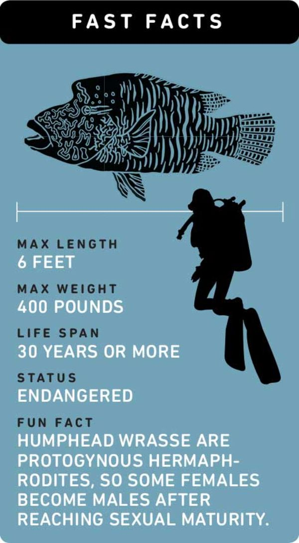 Fast facts about humphead (Napoleon) wrasse