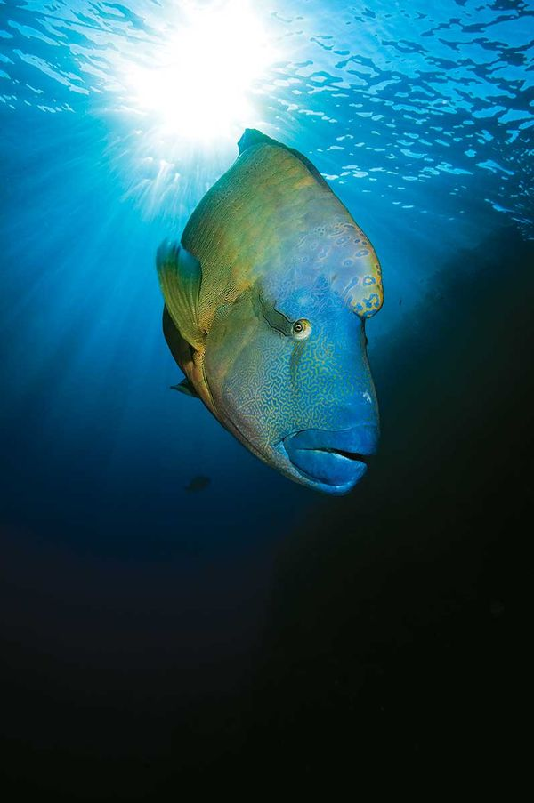 Scuba Diving with Humphead (Napoleon) Wrasse in Palau