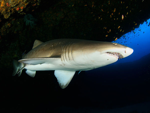Sand Tiger Shark Underwater North Carolina