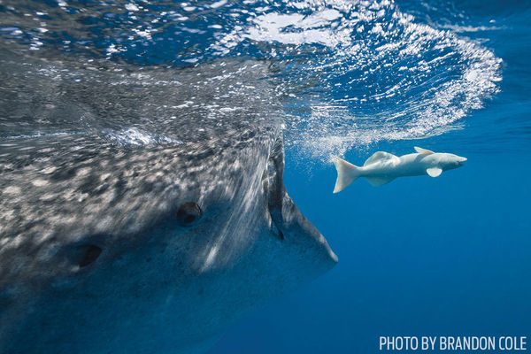 Underwater Photo Whale Shark Chasing Fish