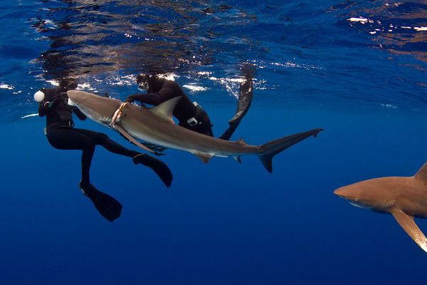Divers Rescue Entangled Dusky Shark In Bahamas