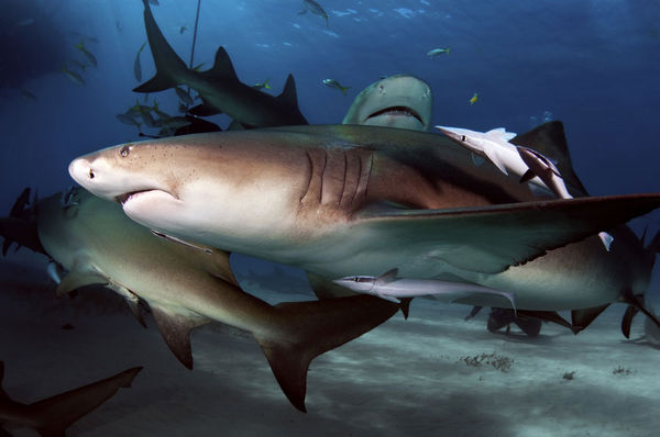 Sharks Underwater Photo in the Bahamas