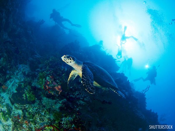 Sea Turtle Underwater Cayman Islands Coral Wall Diving