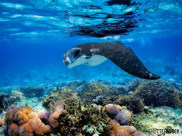 Manta Ray Underwater Indonesia Coral Diving