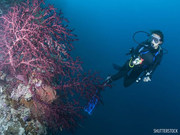 Diver Underwater Palau Coral Wall