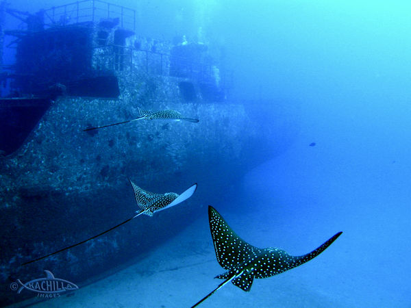 spotted eagle ray hawaii