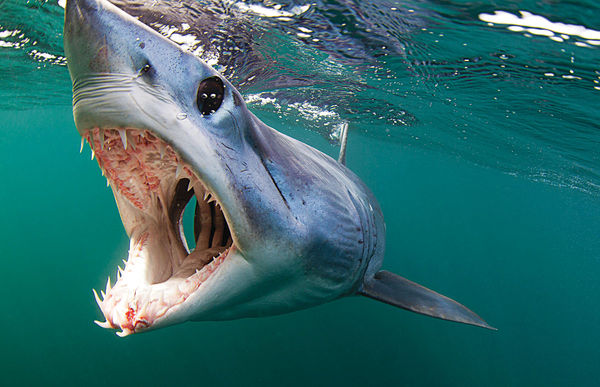 A close up of a mako shark