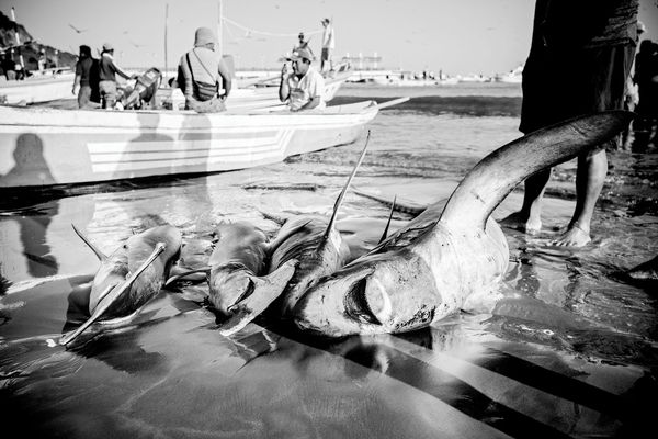 Slaughtered sharks on the shore.