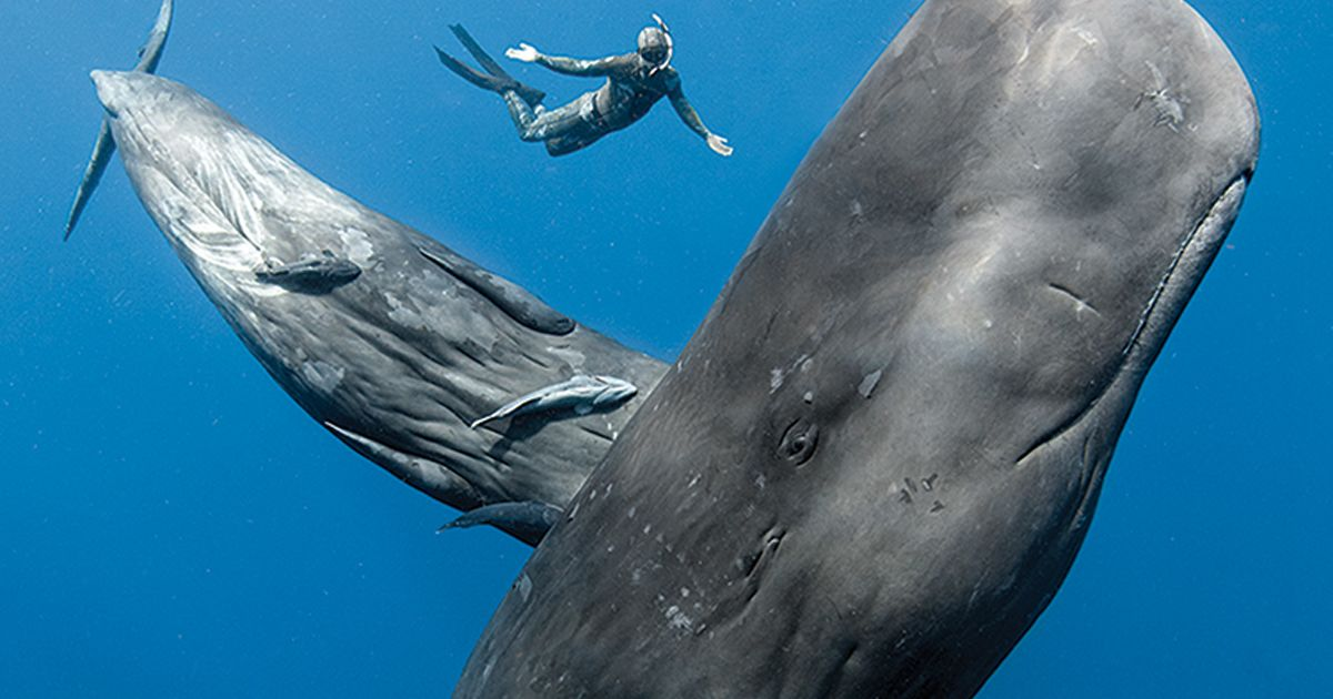 The Best Places to Swim with Sperm Whales   Scuba Diving